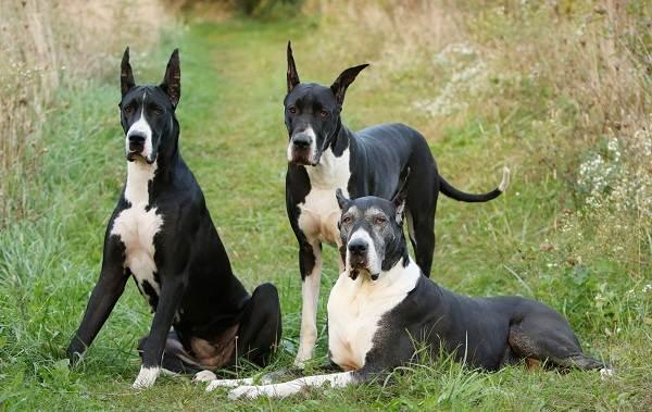 Немецкий-дог-собака-Описание-особенности-виды-характер-и-фото-немецкого-дога-15