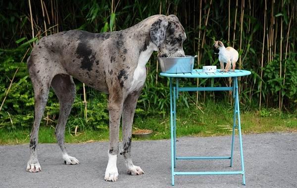 Немецкий-дог-собака-Описание-особенности-виды-характер-и-фото-немецкого-дога-17