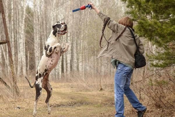 Немецкий-дог-собака-Описание-особенности-виды-характер-и-фото-немецкого-дога-18