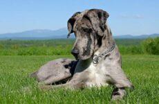 Немецкий дог собака. Описание, особенности, виды, характер и фото немецкого дога