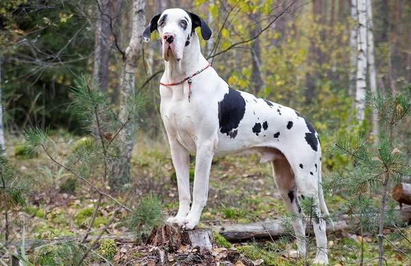 Немецкий-дог-собака-Описание-особенности-виды-характер-и-фото-немецкого-дога-3