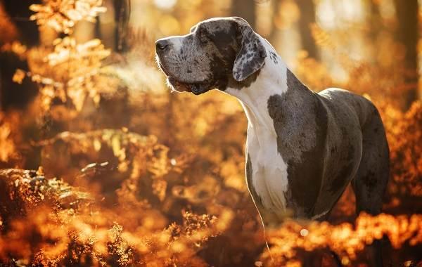 Немецкий-дог-собака-Описание-особенности-виды-характер-и-фото-немецкого-дога-6
