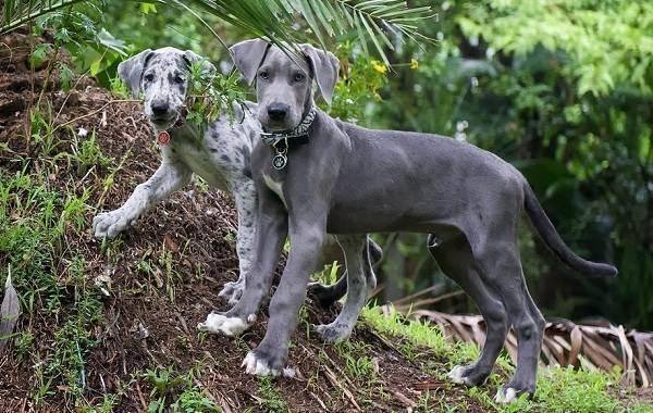 Немецкий-дог-собака-Описание-особенности-виды-характер-и-фото-немецкого-дога-9