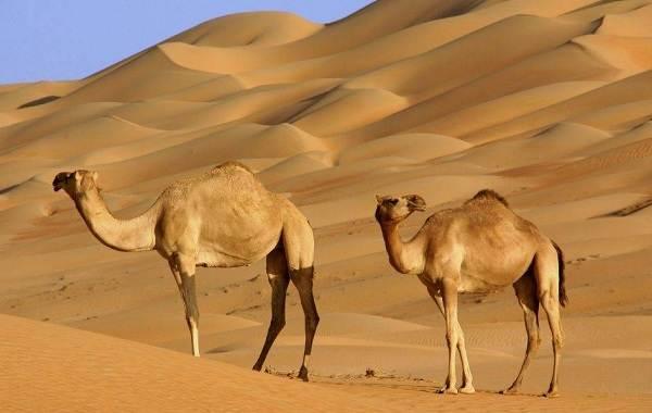 Одногорбый-верблюд-Описание-особенности-образ-жизни-и-среда-обитания-животного-1