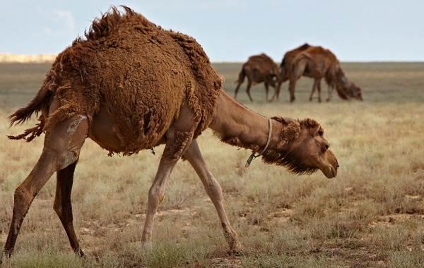 Одногорбый-верблюд-Описание-особенности-образ-жизни-и-среда-обитания-животного-11