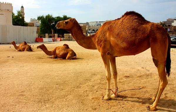 Одногорбый-верблюд-Описание-особенности-образ-жизни-и-среда-обитания-животного-12