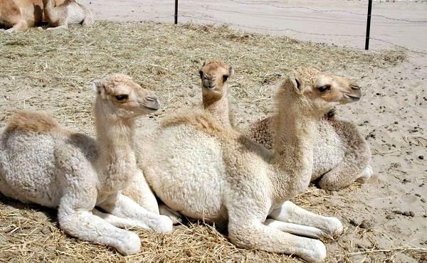 Одногорбый-верблюд-Описание-особенности-образ-жизни-и-среда-обитания-животного-16