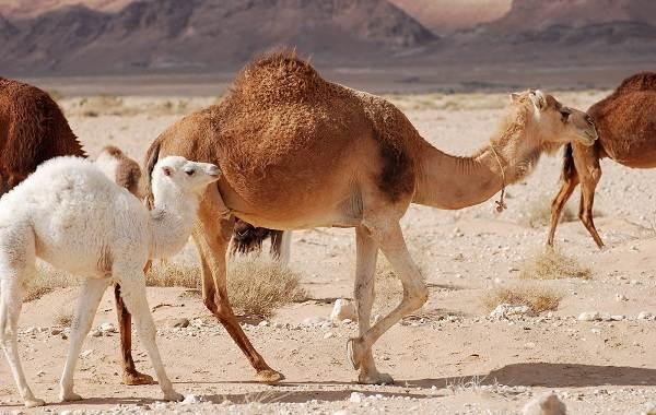 Одногорбый-верблюд-Описание-особенности-образ-жизни-и-среда-обитания-животного-2