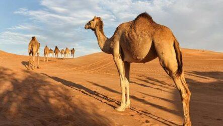 Одногорбый верблюд. Описание, особенности, образ жизни и среда обитания животного