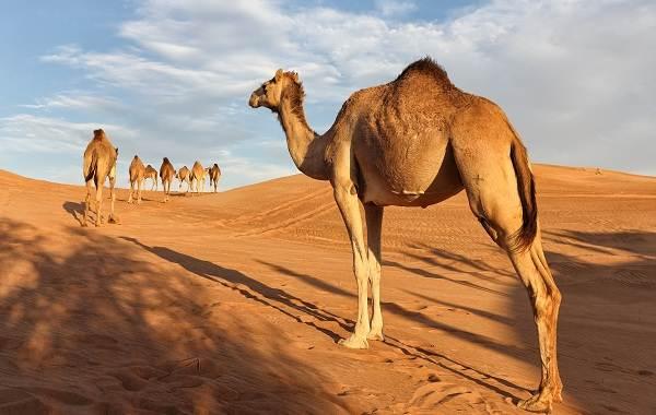 Одногорбый-верблюд-Описание-особенности-образ-жизни-и-среда-обитания-животного-3