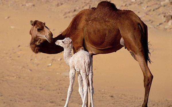 Одногорбый-верблюд-Описание-особенности-образ-жизни-и-среда-обитания-животного-7