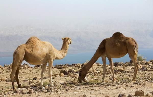 Одногорбый-верблюд-Описание-особенности-образ-жизни-и-среда-обитания-животного-8
