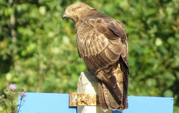 Осоед-птица-Описание-особенности-виды-образ-жизни-и-среда-обитания-осоеда-1