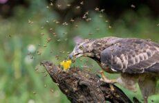 Осоед птица. Описание, особенности, виды, образ жизни и среда обитания осоеда