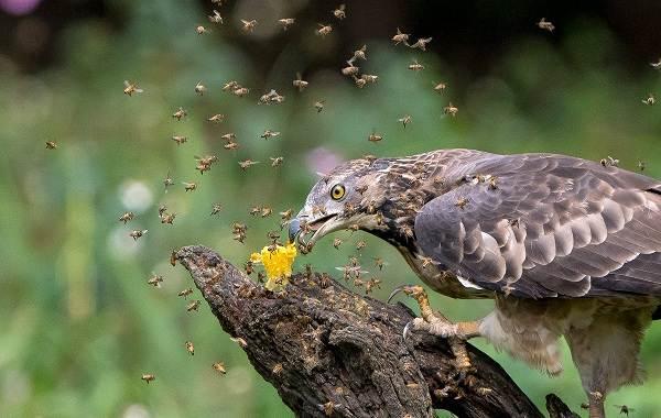 Осоед-птица-Описание-особенности-виды-образ-жизни-и-среда-обитания-осоеда-10