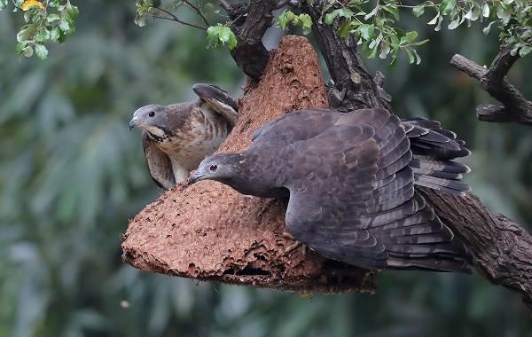 Осоед-птица-Описание-особенности-виды-образ-жизни-и-среда-обитания-осоеда-12