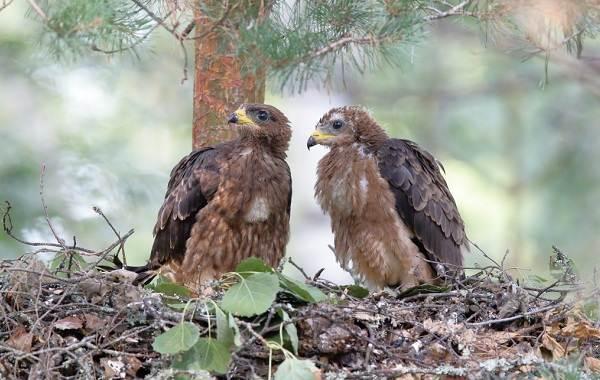 Осоед-птица-Описание-особенности-виды-образ-жизни-и-среда-обитания-осоеда-13