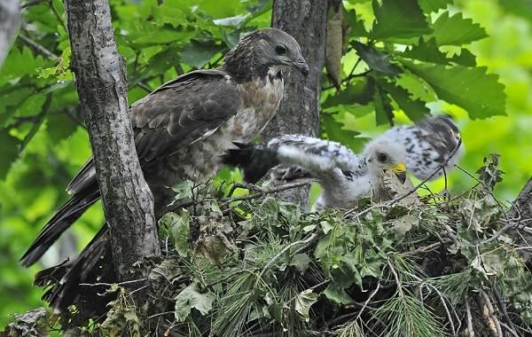 Осоед-птица-Описание-особенности-виды-образ-жизни-и-среда-обитания-осоеда-2