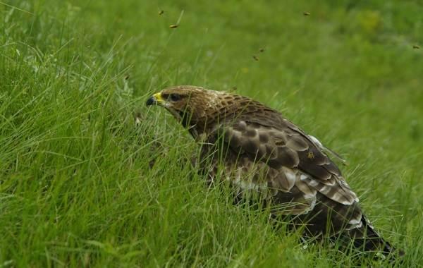 Осоед-птица-Описание-особенности-виды-образ-жизни-и-среда-обитания-осоеда-6