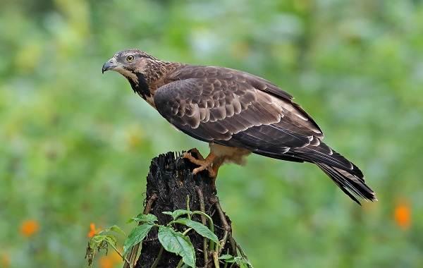 Осоед-птица-Описание-особенности-виды-образ-жизни-и-среда-обитания-осоеда-7