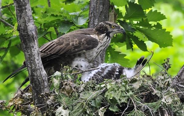 Осоед-птица-Описание-особенности-виды-образ-жизни-и-среда-обитания-осоеда-9