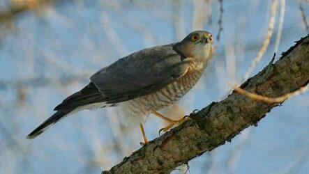 Перепелятник птица. Описание, особенности, виды, образ жизни и среда обитания перепелятника