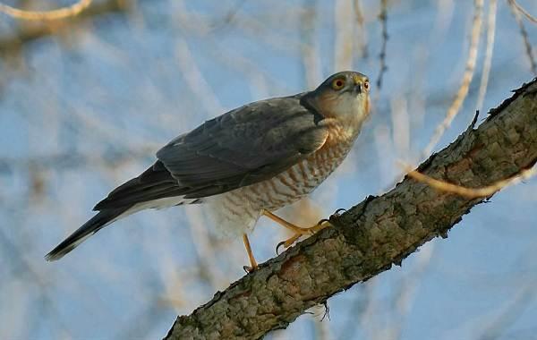 Перепелятник-птица-Описание-особенности-виды-образ-жизни-и-среда-обитания-перепелятника-1