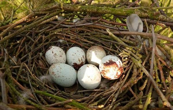Перепелятник-птица-Описание-особенности-виды-образ-жизни-и-среда-обитания-перепелятника-11