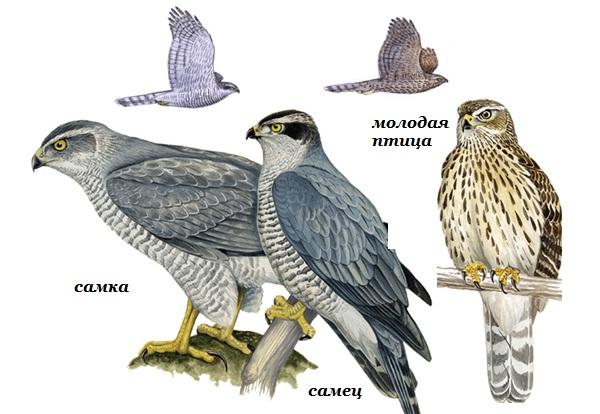 Перепелятник-птица-Описание-особенности-виды-образ-жизни-и-среда-обитания-перепелятника-13