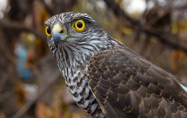 Перепелятник-птица-Описание-особенности-виды-образ-жизни-и-среда-обитания-перепелятника-2