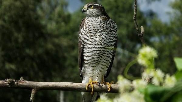 Перепелятник-птица-Описание-особенности-виды-образ-жизни-и-среда-обитания-перепелятника-4
