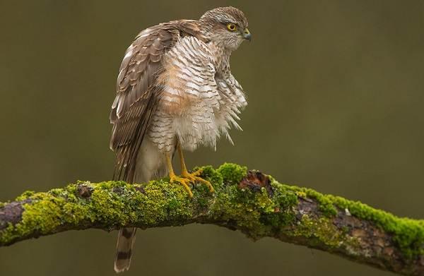 Перепелятник-птица-Описание-особенности-виды-образ-жизни-и-среда-обитания-перепелятника-5