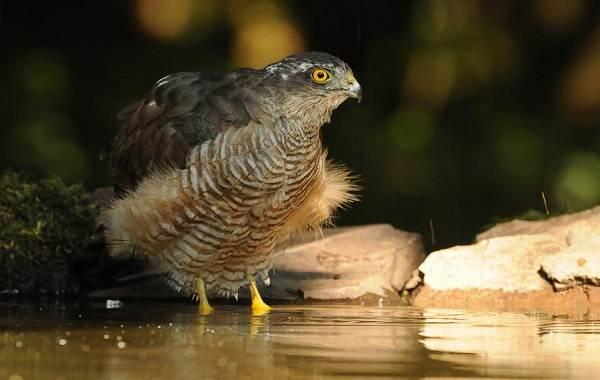 Перепелятник-птица-Описание-особенности-виды-образ-жизни-и-среда-обитания-перепелятника-6