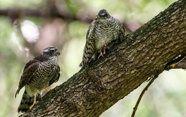 Перепелятник-птица-Описание-особенности-виды-образ-жизни-и-среда-обитания-перепелятника-8