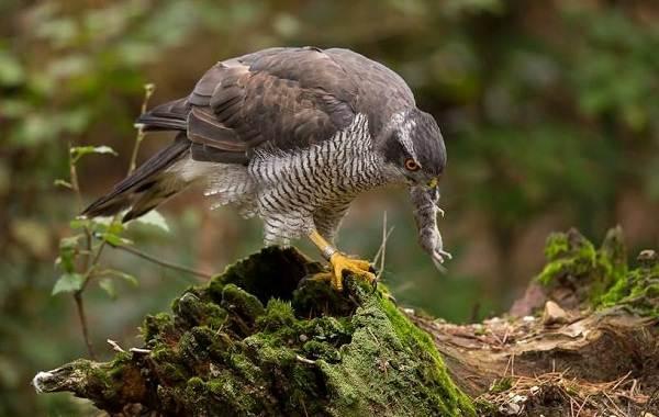 Перепелятник-птица-Описание-особенности-виды-образ-жизни-и-среда-обитания-перепелятника-9