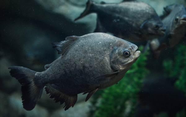 Пиранья-рыба-Описание-особенности-виды-образ-жизни-и-среда-обитания-пираньи-1