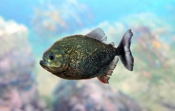 Пиранья-рыба-Описание-особенности-виды-образ-жизни-и-среда-обитания-пираньи-11