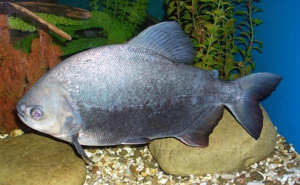 Пиранья-рыба-Описание-особенности-виды-образ-жизни-и-среда-обитания-пираньи-13