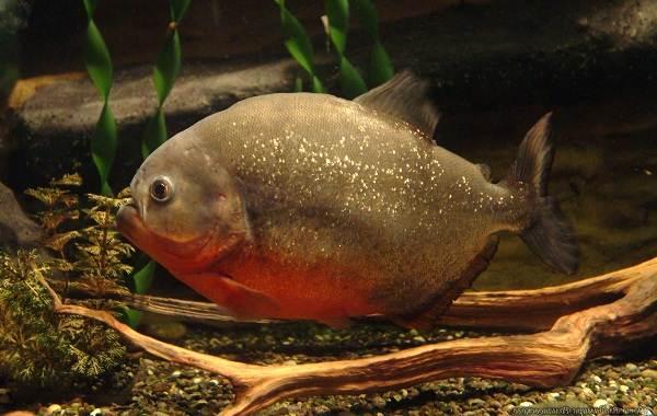 Пиранья-рыба-Описание-особенности-виды-образ-жизни-и-среда-обитания-пираньи-14
