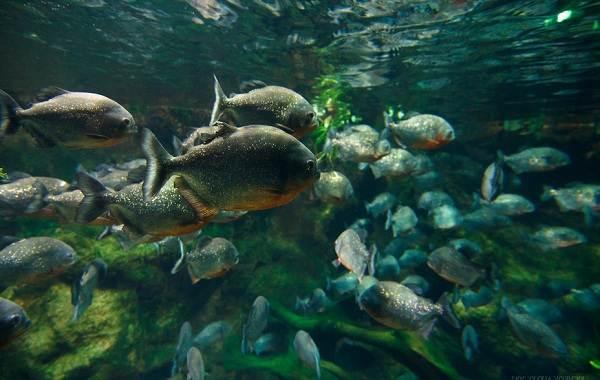Пиранья-рыба-Описание-особенности-виды-образ-жизни-и-среда-обитания-пираньи-15