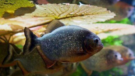 Пиранья рыба. Описание, особенности, виды, образ жизни и среда обитания пираньи