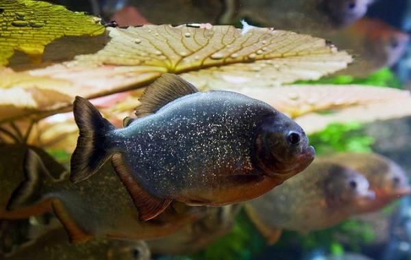Пиранья-рыба-Описание-особенности-виды-образ-жизни-и-среда-обитания-пираньи-16
