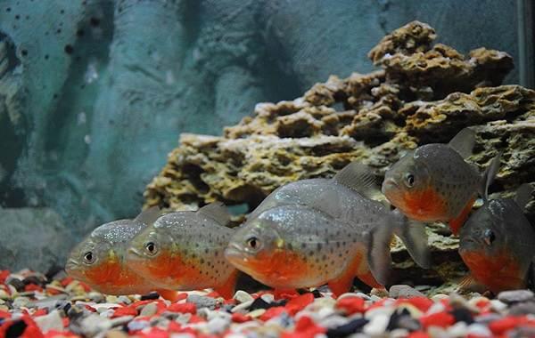 Пиранья-рыба-Описание-особенности-виды-образ-жизни-и-среда-обитания-пираньи-17