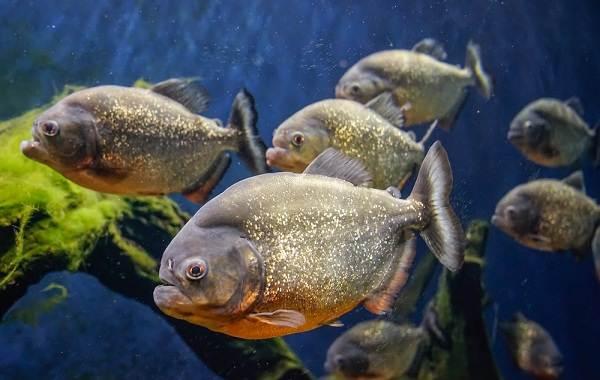 Пиранья-рыба-Описание-особенности-виды-образ-жизни-и-среда-обитания-пираньи-18