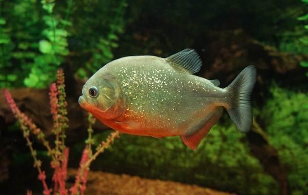Пиранья-рыба-Описание-особенности-виды-образ-жизни-и-среда-обитания-пираньи-2
