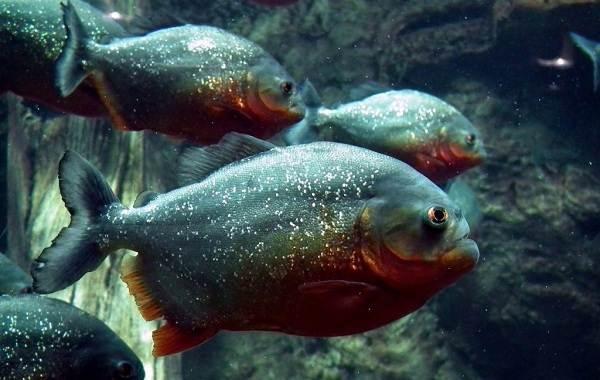 Пиранья-рыба-Описание-особенности-виды-образ-жизни-и-среда-обитания-пираньи-3