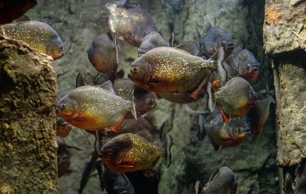 Пиранья-рыба-Описание-особенности-виды-образ-жизни-и-среда-обитания-пираньи-5