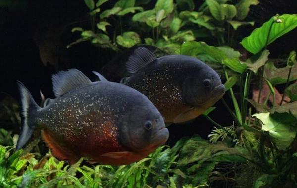 Пиранья-рыба-Описание-особенности-виды-образ-жизни-и-среда-обитания-пираньи-6