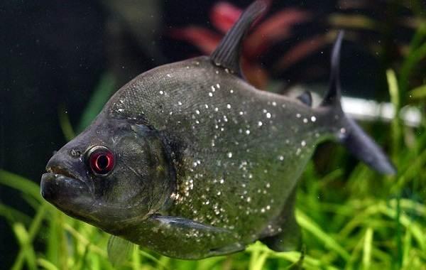 Пиранья-рыба-Описание-особенности-виды-образ-жизни-и-среда-обитания-пираньи-7