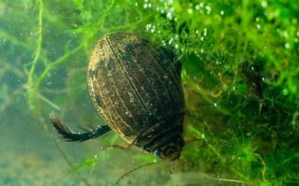 Плавунец-жук-насекомое-Описание-особенности-виды-образ-жизни-и-среда-обитания-плавунца-1